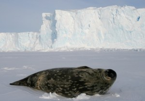 Phoque_de_Weddell_-_Weddell_Seal