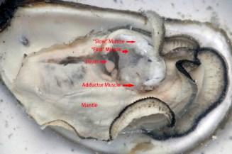 oyster-anatomy