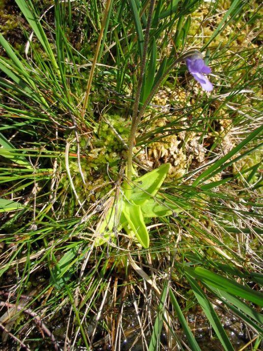 A Butterwort
