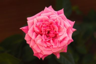 Pink Flowery Rose