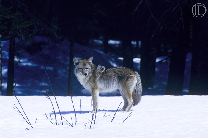 Coyote - $150 - 11x17 Kodachrome Color C Print - Open Edition