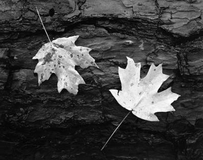 12-27-1994 Yellow Maple leave-Hoover Alabama-Linhof Technika-Schneider 120mm Super Symmar HM-Ilford Delta 400 4x5 film-PMK Pyro developer.