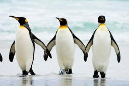 The voice penguins