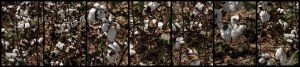 Up Close, Cotton, by John Dowell artist photographer