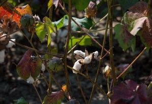 Untitled, Cotton, by John Dowell artist photographer