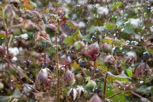 Awakening, Cotton, by John Dowell artist photographer