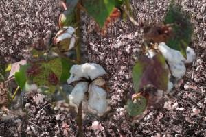 Memory, Cotton, by John Dowell artist photographer
