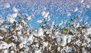 Final Transition, Cotton, by John Dowell artist photographer