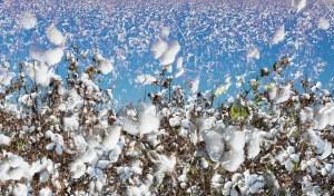 Final Transition, Cotton, by John Dowell artist photographer