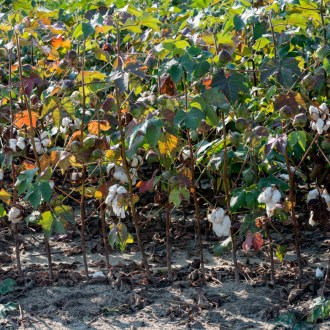 Morning, Cotton, by John Dowell artist photographer