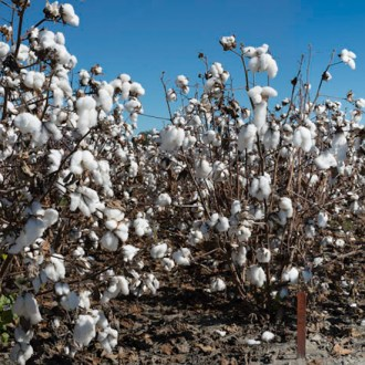 Wandering In, Cotton, by John Dowell artist photographer
