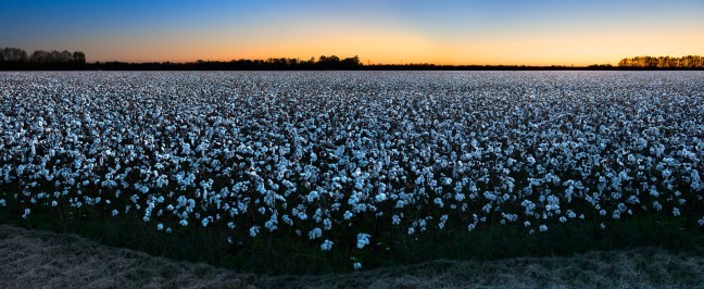 Getting Ready, Cotton, by John Dowell artist photographer