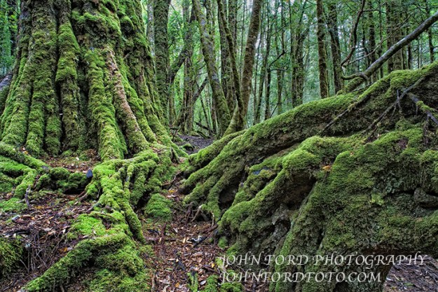 Mossy trees in  cradle Mountain national Park, Tasmania.