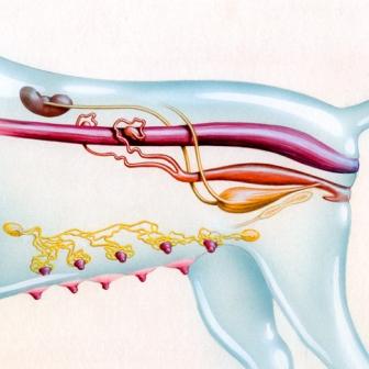 Illustration by John Fraser of the canine female reproductive system, dog anatomy, medical illustration, reproductive system