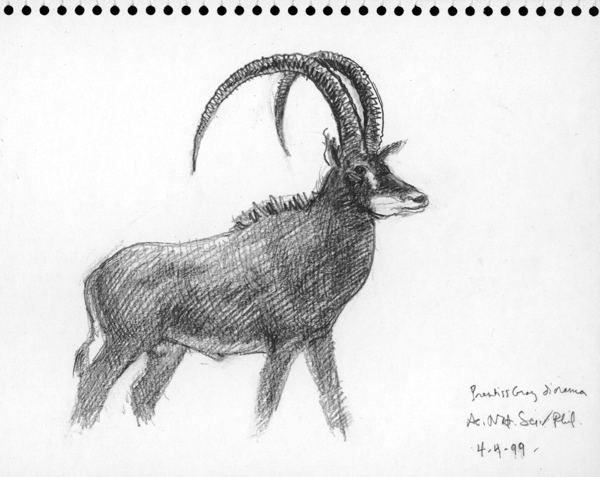 Giant Sable, Academy of Natural Sciences; graphite on paper 1999