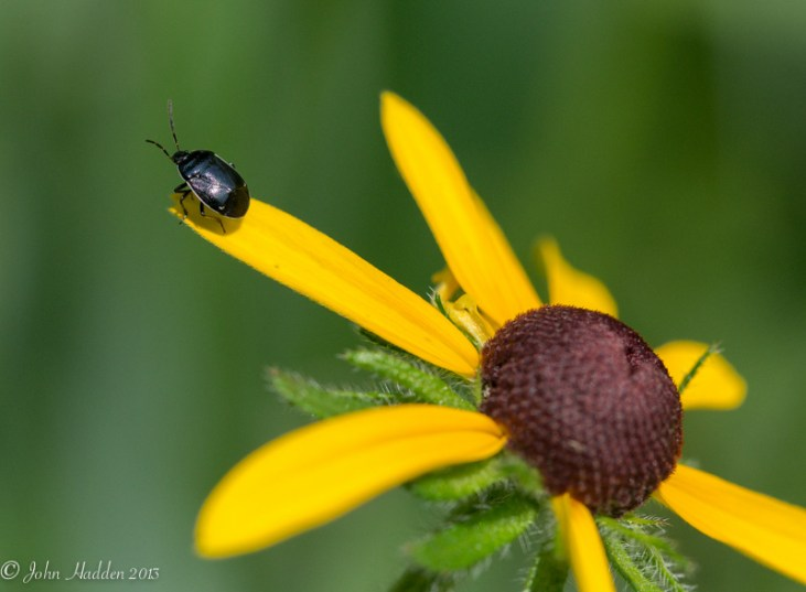 An unidentified beetle perches on a black-eyed Susan.