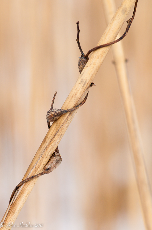 A dried vine wraps around a common reed in winter.