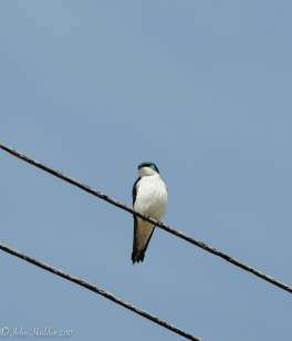A barn swallow poses on a wire along Shaker Mountain Road