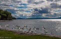 Gulls take wing along the shore of Lake Champlain at Shelburne Farm