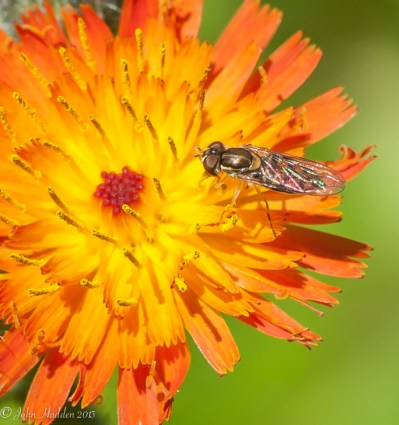 A small fly on an devil's paint brush