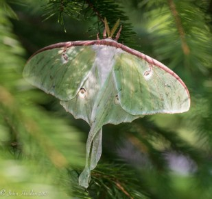 A luna moth rests in our front yard spruce