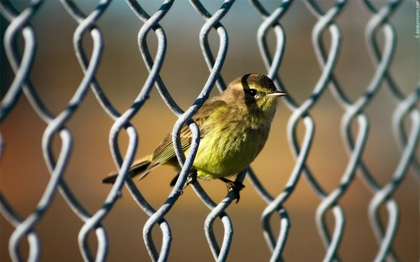 Bird in a Chain Link Fence