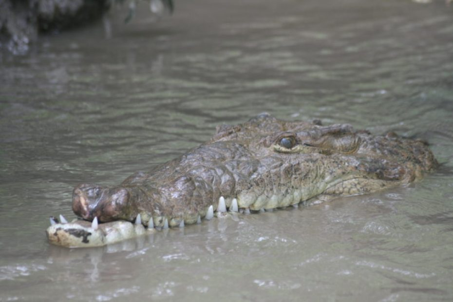 A crocodile near our boat in the River Tempisque.