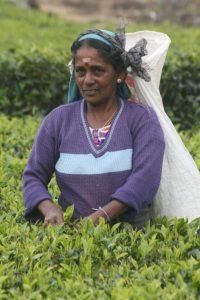 Tea picker purple