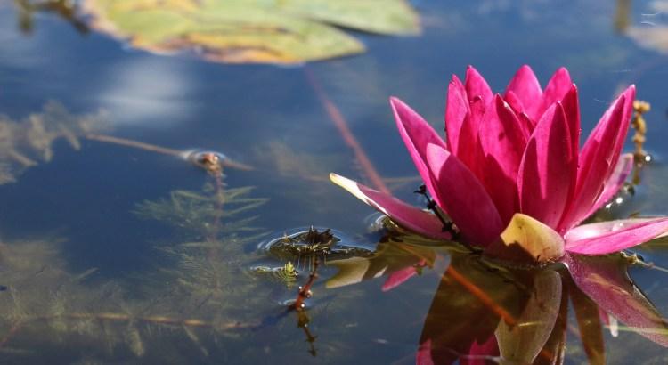 water lily at springbank park, london, ontario