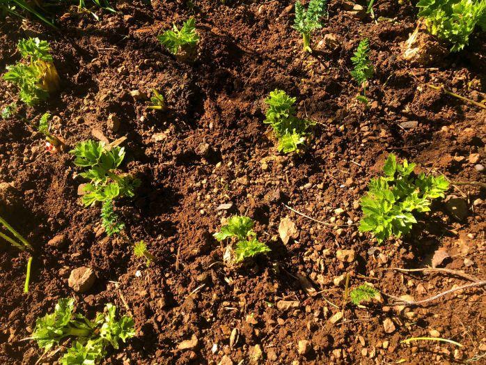 CarrotsandCeleryInterplanted