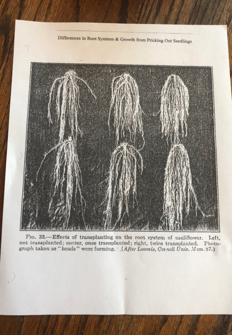 Photo showing the the difference pricking out makes to the root systems of the seedlings