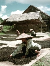 Spreading pepper to dry in the sun at the Semegok resettlement between Serian and Kuching, Sarawak, 1954