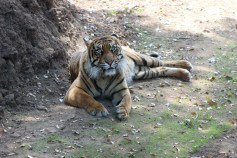 Dourga, the female Sumatran Tiger
