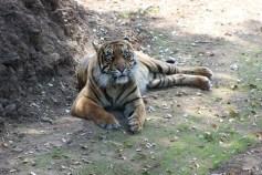 Dourga, the female Sumatran Tiger