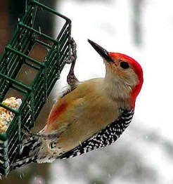 red_bellied_woodpecker_zzzzzzz