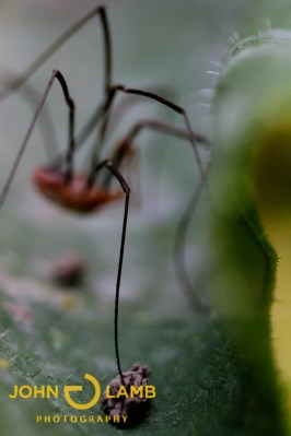 Harvestmen are not actually spiders