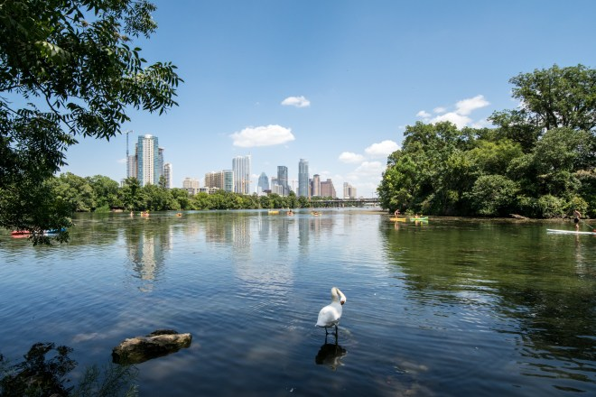 View of a swan in Lady Bird Lake in Austin, TX