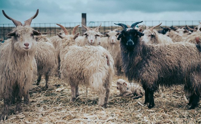 Where Does Cashmere Come From John Lewis Partners