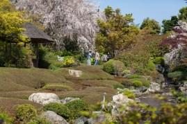Cherry Blossom - Kyoto - Taizo-in pic 2