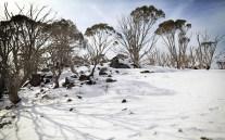 Gums in snow