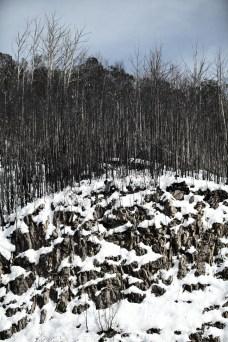 Trees & Snow