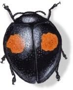 C Chilocorus stigmata