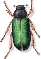 C Dichelonyx backi green