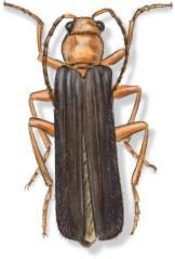 C Podabrus pruinosus