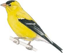 goldfinch american m