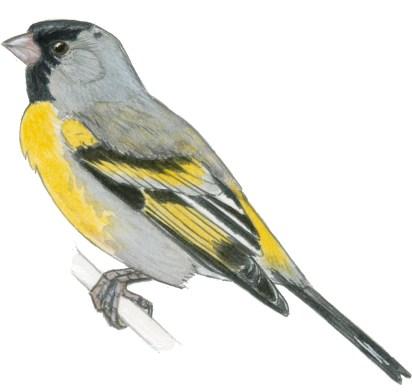 goldfinch lawrences m