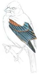grosbeak blue wing