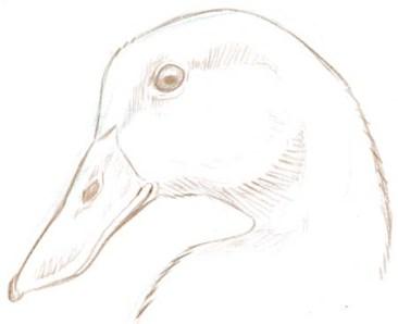 Mallard head 2
