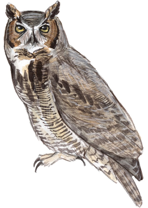 Great-horned Owl - John Muir Laws