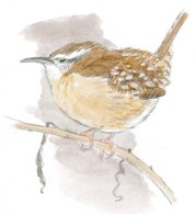 wren carolina rump cold